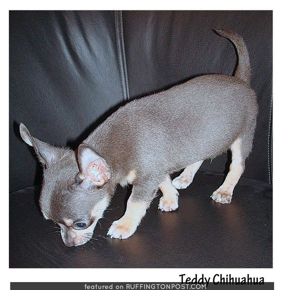 Check Out This Adorable Teddy Chihuahua - http://www.ruffingtonpost.com/check-adorable-teddy-chihuahua/