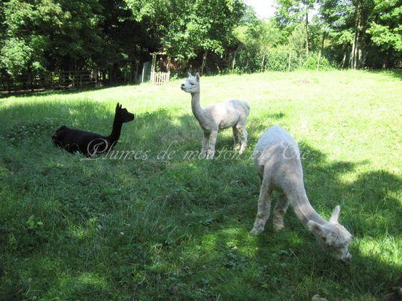 Alpagas élevage du Fontenelle sur http://plumesdemouton.jimdo.com/