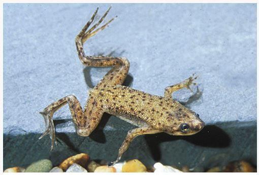 Dwarf African Frog Hymenochirus Curtipes Arizona Aquatic Gardens Dwarf Frogs African Frogs African Clawed Frog