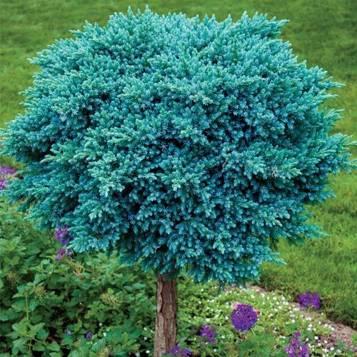 Blue star juniper on standard backyard plan pinterest for Short evergreen trees