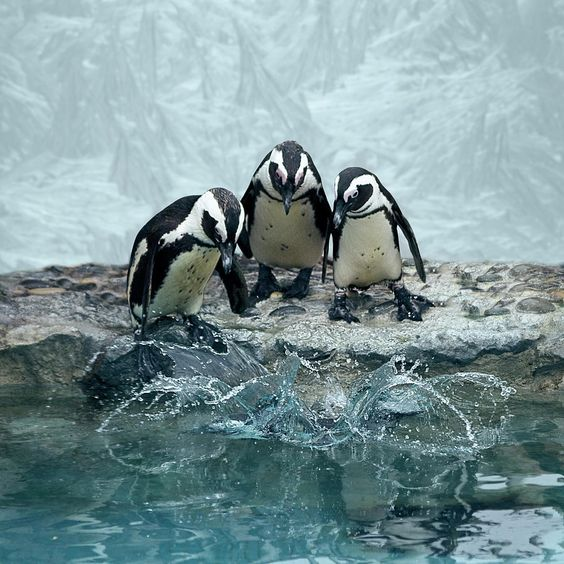 ✮ Penguins overlooking water before diving in together - Cool Pic!