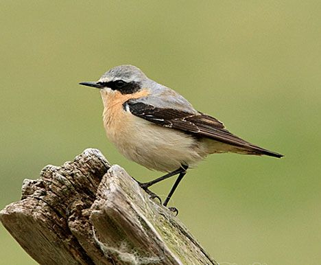 A regular summer visitor, the Wheatear, bird watching in Wales