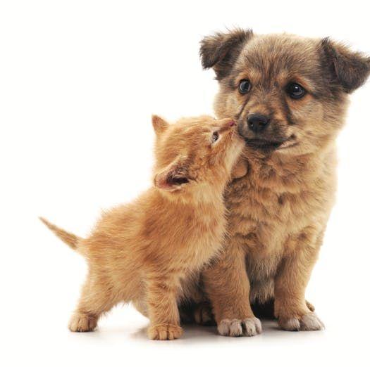Only4pets Buy Pets Stray Stud Dogs Puppies Labrador Pug Puppies Beagle Dog Saint Bernard German Shepherd Doberman Persia Pets Dog Cat Pets Online