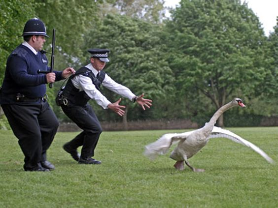 """""""The swan's escaped."""":"""