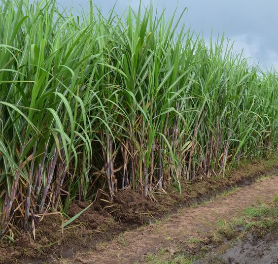 High Resolution Remotesensing Sugarcane Field Extraction Based On Deeplearning Agriculture Sugarcane Sugarcane Juice Agriculture