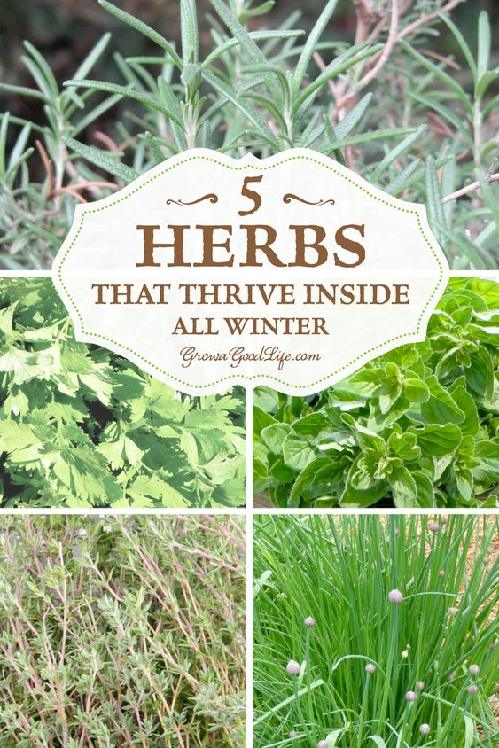 grow herbs indoors 5 herbs that thrive inside gardens the winter and growing herbs indoors. Black Bedroom Furniture Sets. Home Design Ideas