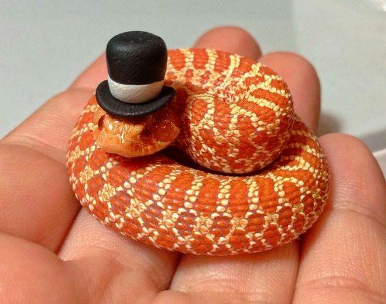 Hognose Snake Snakes With Hats Pet Snake Snake