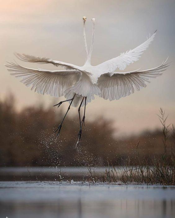 les échassiers ⊰ type couple oiseaux grue héron blancs birds marais via veverybeautiful