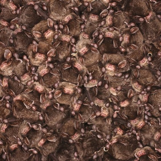 Thousands of bats group together during hibernation in an artificial cave on Shikoku Island taken in January 2016 in Kochi Japan. Thousands of bats seek sanctuary from the winter weather in a public walkway set into a mountainside in Kochi Japan. The incredible images taken by university researcher Kei Nomiyama show a colony of eastern bent-winged bats hibernating in a man-made cave. Also known as Little Japanese Horseshoe Bats for several years the complete disappearance of the animals…