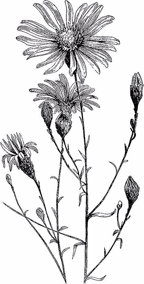 Pin By Lillian Greenholt On Bunga Aster In 2020 Clip Art Vintage Aster Flower Aster Flower Tattoos