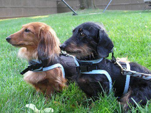 Mesh Dog Harness Dog Harness Dachshund Dogs