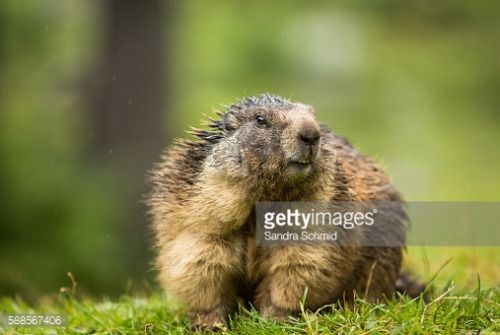 Marmot from the Austrian Alps #filzmoos http://dlvr.it/MLnlBP #filzmoos: Marmot from the Austrian Alps #filzmoos… #filzmoos