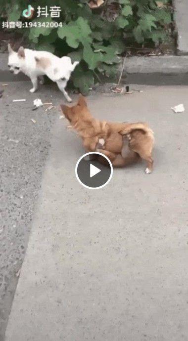 Enquanto o cachorrinho faz xixi, o outro não larga do seu amigo de jeito nem um.