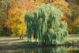 Weeping Willow tree--I love these trees! Lots of memories of playing under a Weeping Willow as a kid.