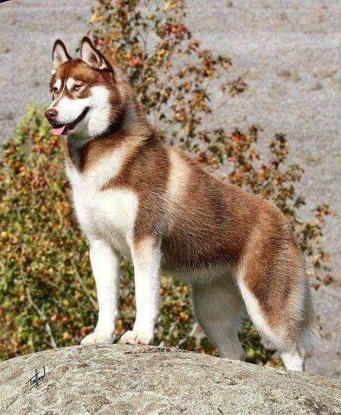 Big Sky S Firestorm Dogs Siberian Husky