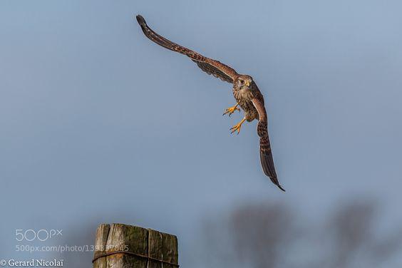 http://ift.tt/1K6283m #animals female kestrel takes off by gerardnicolai http://ift.tt/1PIXXLC #pierceandbiersadorf