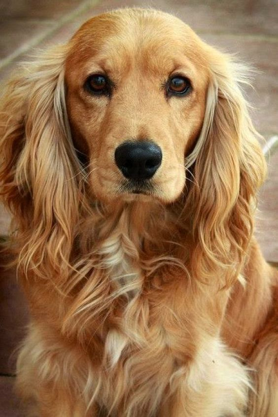 Sandy lookalike - Top 6 Best Dog Breeds for Anxiety Patients