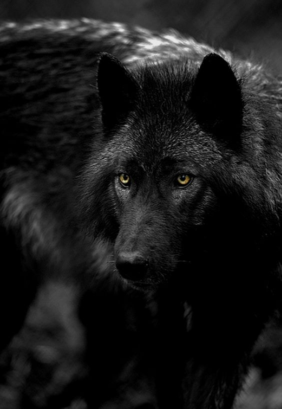 black wolf with yellow eyes -#main