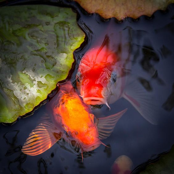 Hopeful faces fine art photography prints for sale by for Colorful pond fish