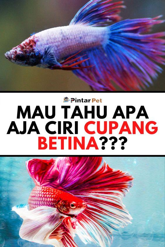 Ciri Ciri Ikan Cupang Betina