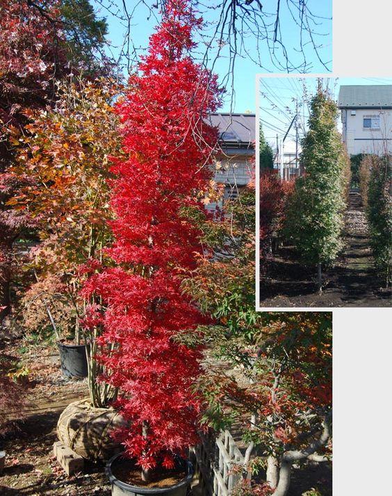 Columnar trees narrowly columnar maples ubc botanical for Small narrow trees for gardens