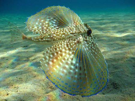 A Vida Nas Águas do Mar Vermelho - Um tipo de badejo