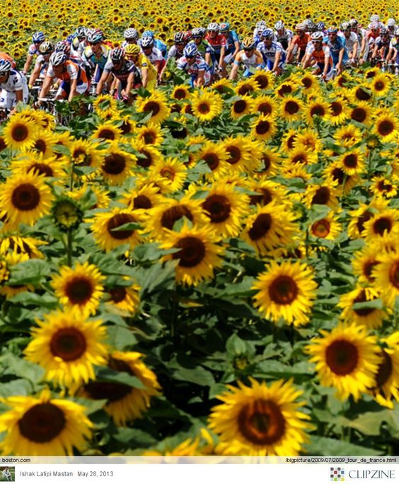 Tour de france, Frances o'connor and Sunflowers on Pinterest