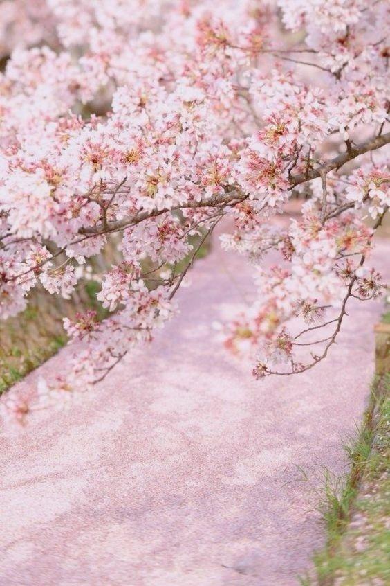 Pin By Hana Ab On Vesna Puteshestviya Sakura Cherry Blossom Beautiful Nature Blossom Trees