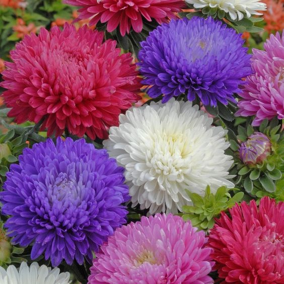 Aster flower adds color to the fall landscape while allowing beauty with little work when caring for Asters. Growing asters often grow in late summer...