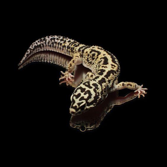#Leopardgecko 'Texas' Lavender & Tangerine Jungle Bandit het. Striped by Ron Tremper