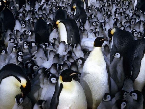 emporer-penguin-chicks-Brilliant-photography-from-Natgeo-archives