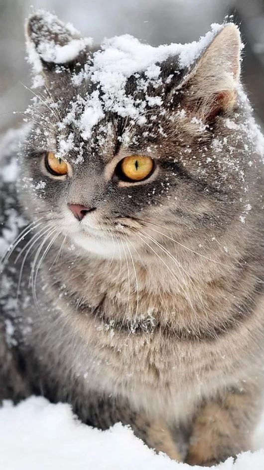 Beautiful Cat With Snow On Her Head Snowcat Winter Cat Snow Cats Cat Breeds Cool Cats
