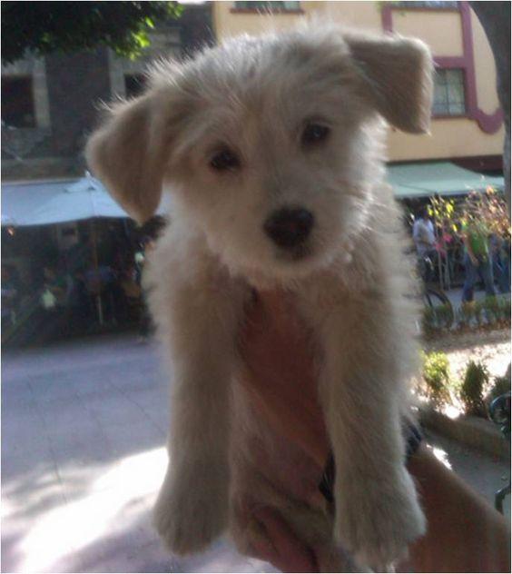BOBBY cachorrito de 2 meses en adopción. Macho, será talla peq. mediana a lo más. Muy lindo, cariñoso, juguetón. Adopción para estar dentro de casa. IDEAL PARA DEPARTAMENTO. Tel. 36100968