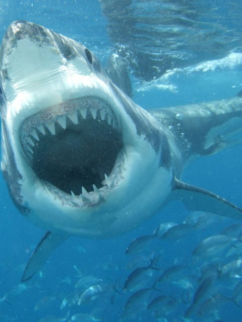 White Shark wallpaper 480x640 OCEANO Pinterest
