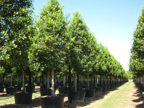 Savannah Holly Tree Form - 100 Gallon
