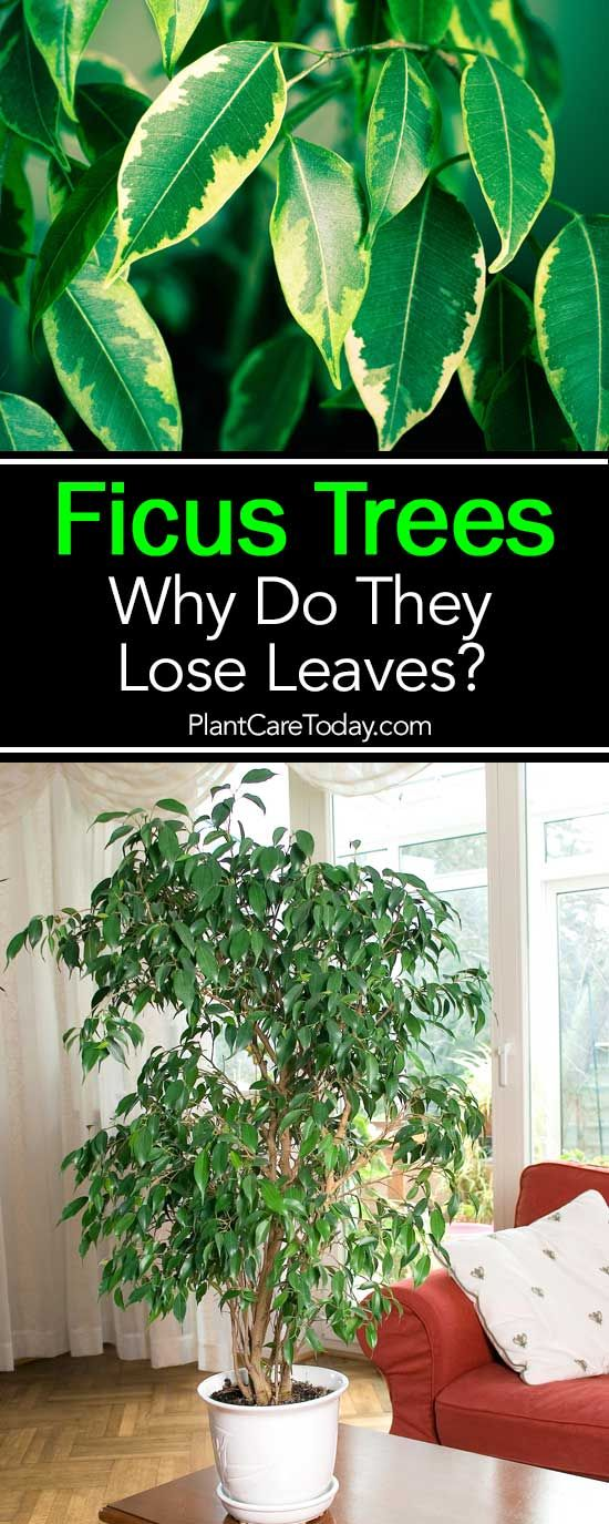 Why Is Your Ficus Losing Leaves Details Ficus Tree Indoor Ficus Ficus Tree