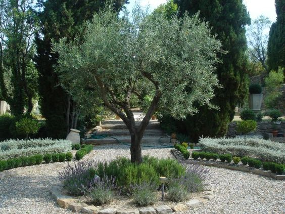 Olive trees with borders of rosemary and lavender or for Garden trees