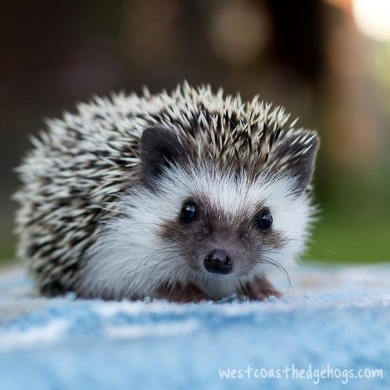 Hedgehogs have the sweetest faces!
