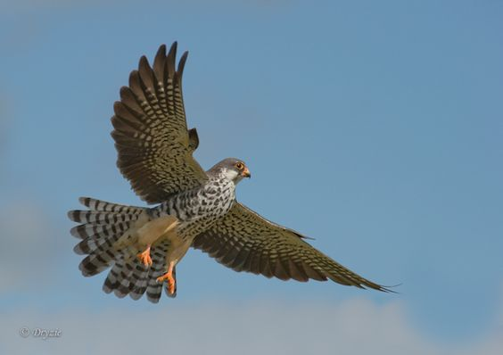 Safe Passage For Amur Falcons Through India | National Geographic ...