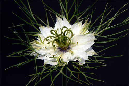 Nigella damascena (Love-in-the-mist-flower )