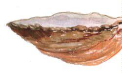 Crépidule
