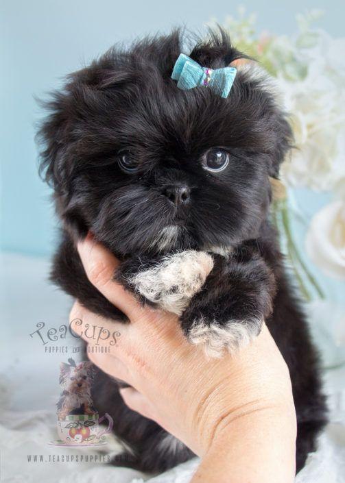 Adorable Shih Tzu Puppy Super Cute Animals