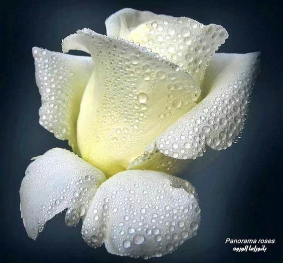 What a beautiful white rose