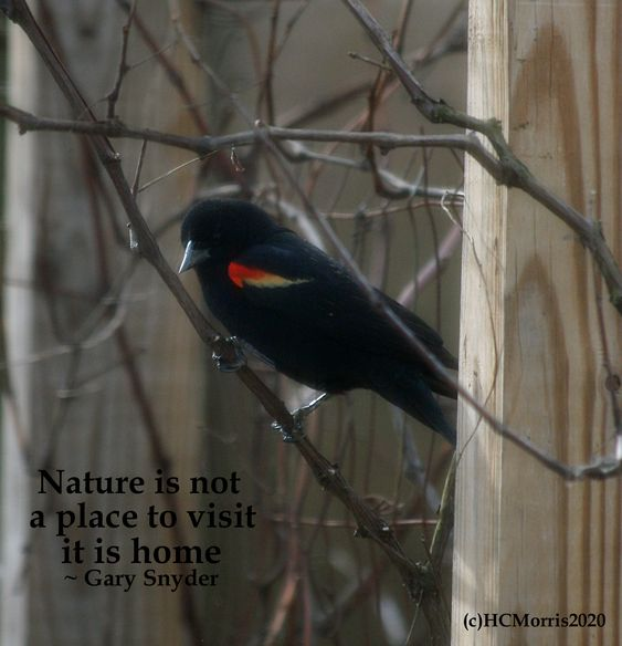 image of a red winged black bird with Gary Snyder quote