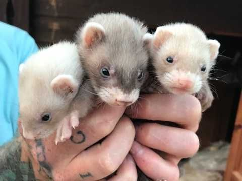 Baby Ferrets For Sale In 2020 Baby Ferrets Cute Ferrets Pet Ferret