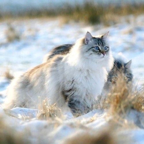 6 Allergiker Katzen Fur Uberempfindliche Samtpfotenfreunde In 2020 Mit Bildern Katzen Sibirische Katze Schonen Katzen
