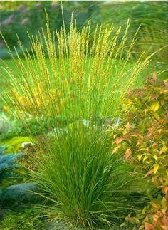 Molinia caerulea arundinacea Transparent - Molinie bleue - Pépinière, plantes, jardinerie, vente en ligne