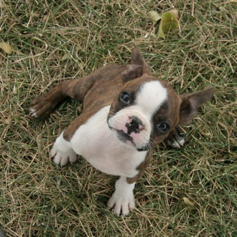 a red and white Boston Terrier puppy so cute looks like a mini boxer.