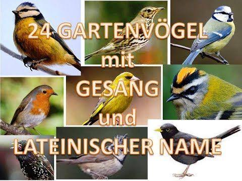 24 Gartenvogel Mit Gesang Und Lateinischer Name Youtube Gesang Latein Garten