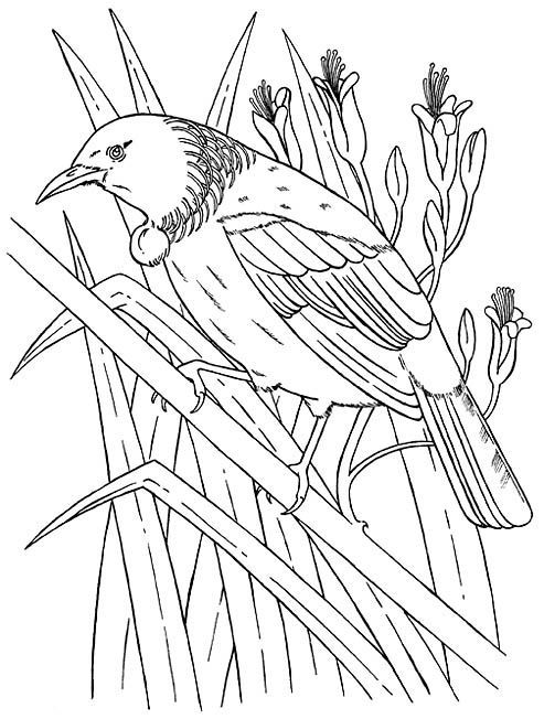 Drawing For Beginners New Zealand Tui Bird Colouring Picture